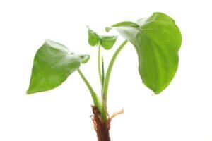 復縁に良い植物クワズイモ